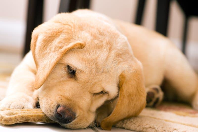 De hond die van het puppy stuk speelgoed been eet royalty-vrije stock afbeeldingen