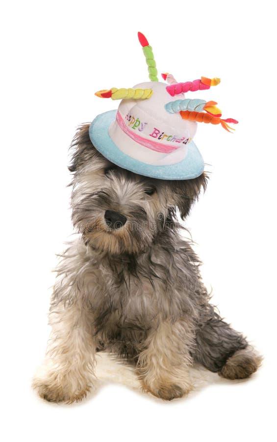De hond die van het Schnauzerpuppy een verjaardagshoed dragen royalty-vrije stock fotografie