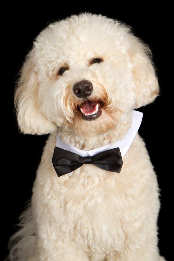 De Hond die van Labradoodle Vlinderdas draagt royalty-vrije stock foto