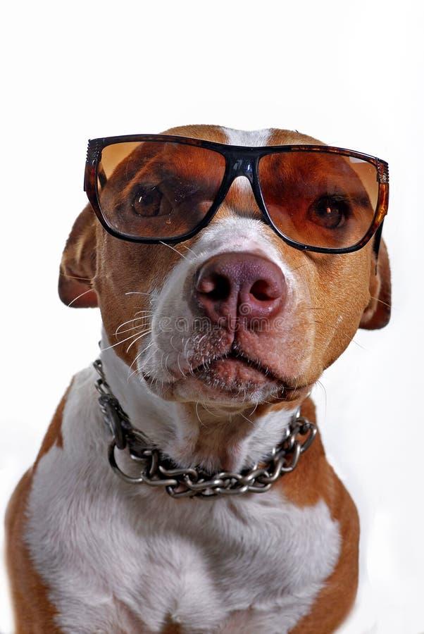 De Hond die van Pitbull Glazen draagt royalty-vrije stock fotografie