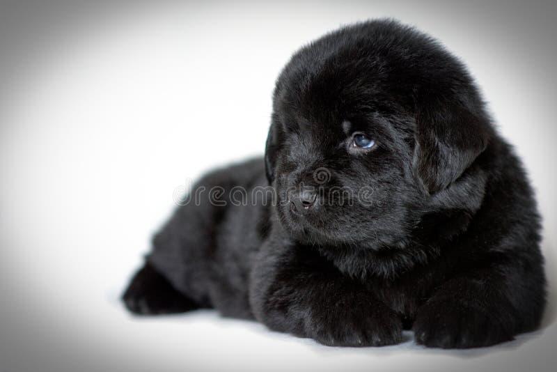 De hond die van puppynewfoundland en, op een witte achtergrond zijdelings liggen kijken een plaats voor een etiket royalty-vrije stock fotografie