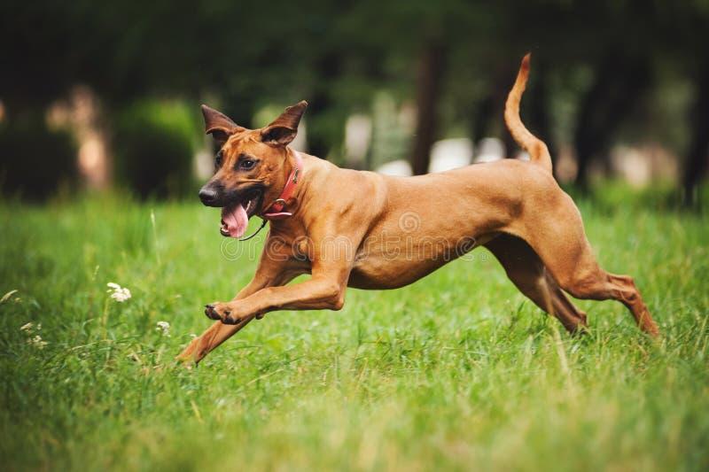 De hond die van Rhodesianridgeback in de zomer lopen stock foto's