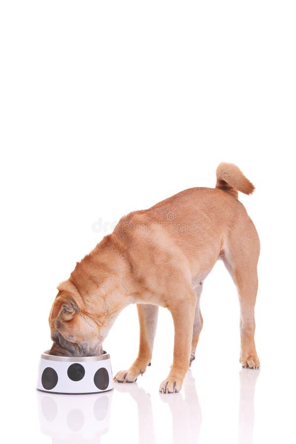 De hond die van Sharpei een maaltijd heeft royalty-vrije stock afbeelding