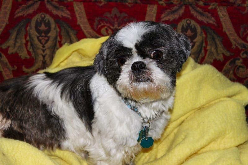 De hond die van Shihtzu op gele algemene en rode gevormde bank met grappig gezicht en slecht uitziend oog liggen royalty-vrije stock afbeelding