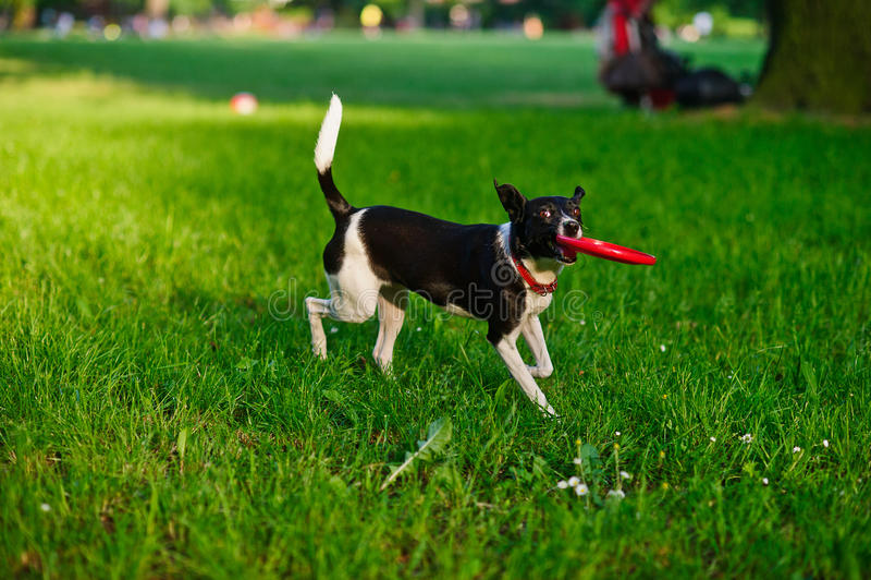 De hond draagt frisbee in een mond stock foto's