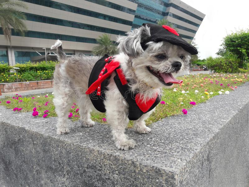 De hond in duivelskostuum reist royalty-vrije stock foto's