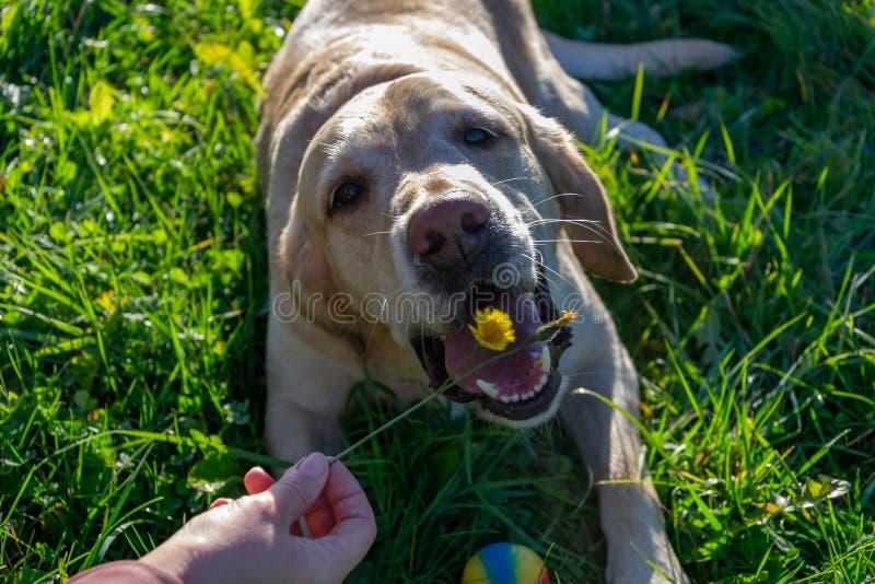 De hond eet paardebloemen en gras, vitaminedeficiëntie, uitgebalanceerd dieet Labrador royalty-vrije stock afbeelding