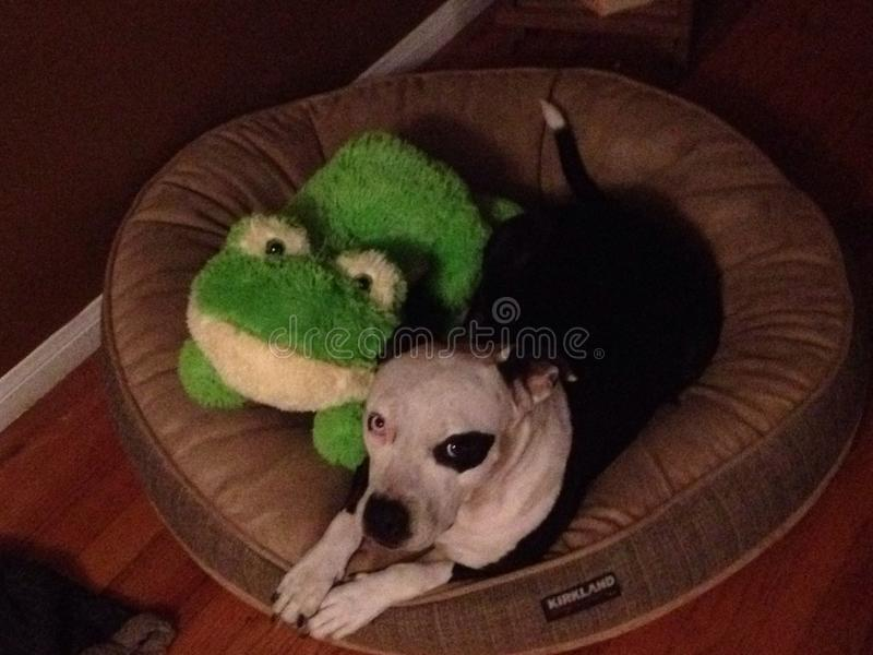 De hond en de kikker delen een bed van een hond stock afbeeldingen