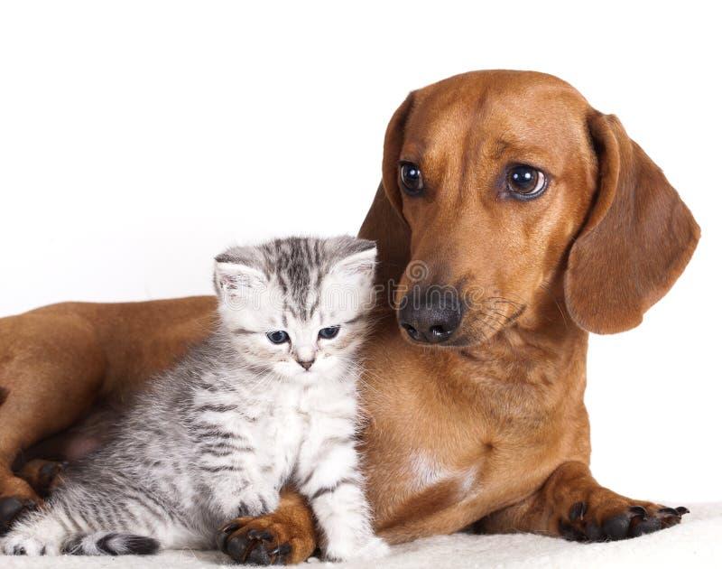 De hond en het katje van de tekkel stock fotografie