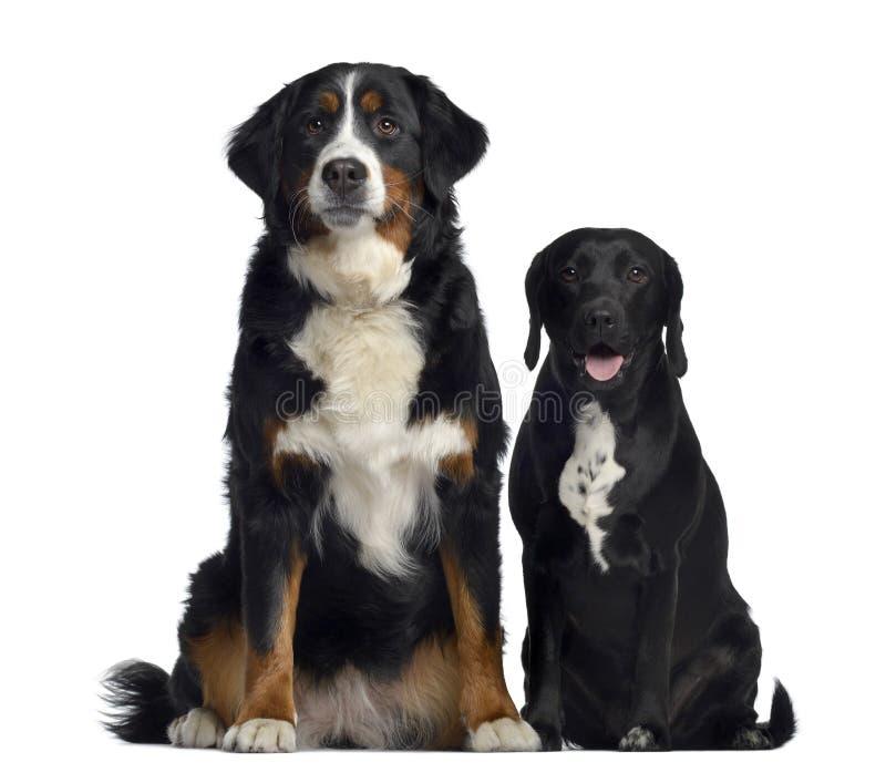 De Hond en de kruising van de Berneseberg tussen Labrador en brak, 1 éénjarige, het zitten stock afbeelding