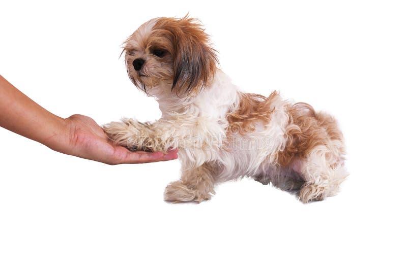 De hond geeft hand op wit wordt geïsoleerd dat stock fotografie
