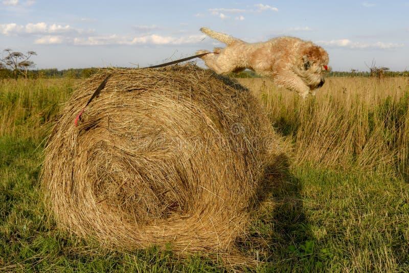 De hond is gewoonlijk Iers wheaten Terrier springt van een hooiberg in de stralen van zonsondergang op de zomergebied royalty-vrije stock foto