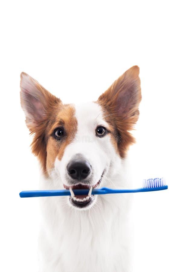 De hond houdt een tandenborstel in mond, tegen wit wordt geïsoleerd dat royalty-vrije stock fotografie