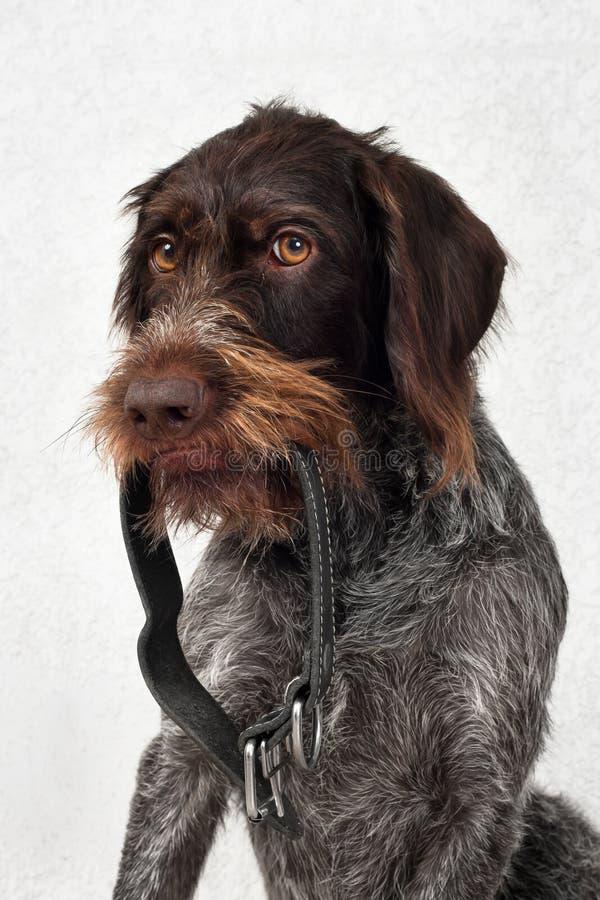 De hond houdt de halsband royalty-vrije stock afbeeldingen