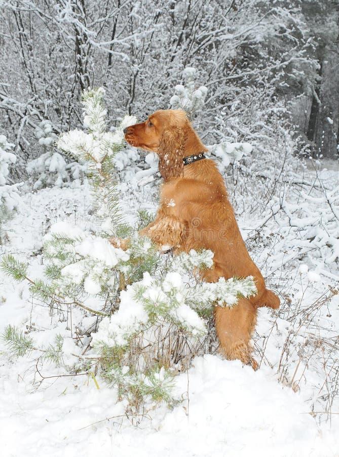 De hond kiest een bont-boom royalty-vrije stock afbeeldingen