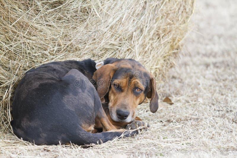 De hond kijkt vermoeide, dwaze uitdrukking, door baal van hooi royalty-vrije stock foto