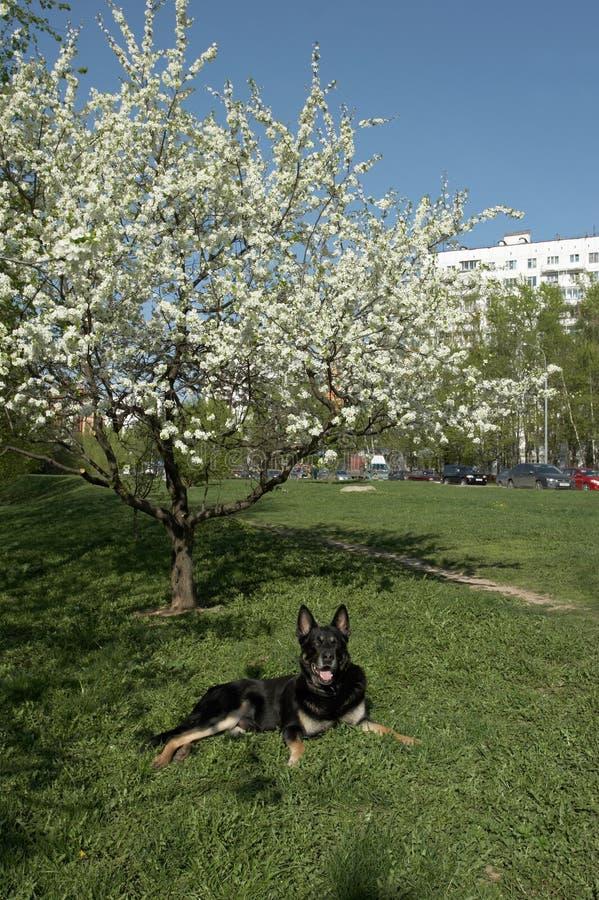 de hond legt onder een tot bloei komende boom stock fotografie
