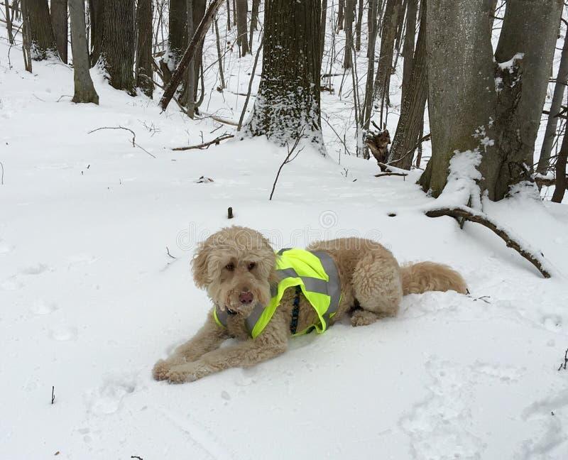 De hond legt in sneeuwhout, draagt de jachtvest stock foto's