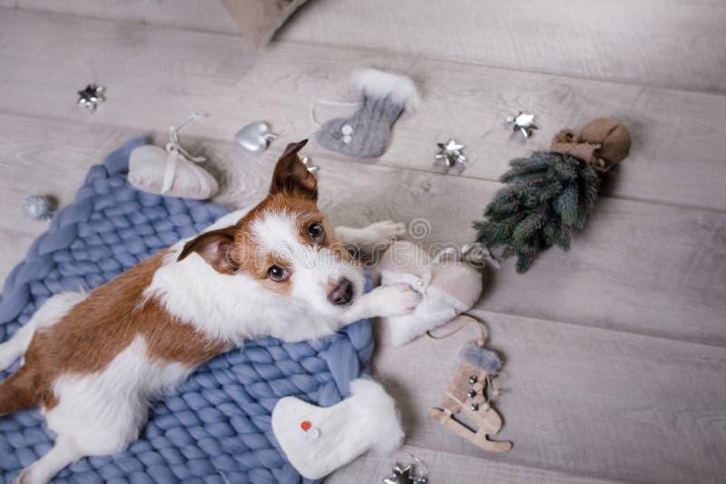 De hond ligt op de vloer Jack Russell Terrier op een deken stock afbeeldingen