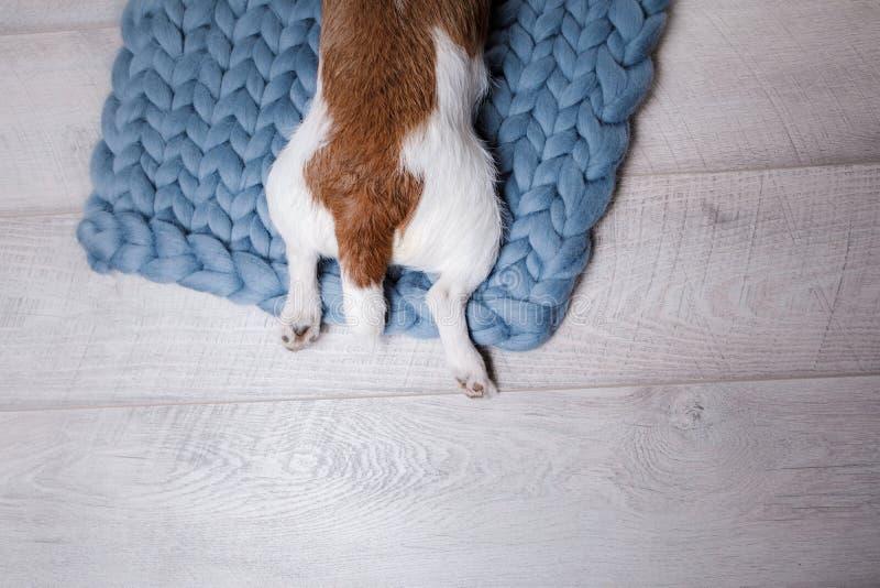 De hond ligt op de vloer Jack Russell Terrier op een deken royalty-vrije stock afbeeldingen