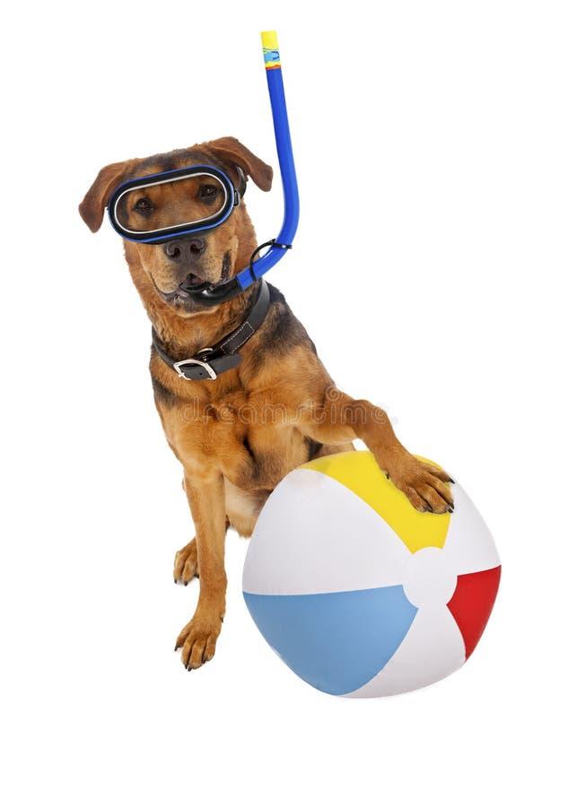 De hond met Strandbal en snorkelt stock foto's