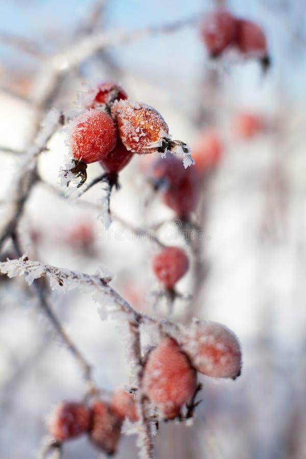 De hond nam bessen met ijskegels en sneeuw, in de winter toe stock afbeeldingen