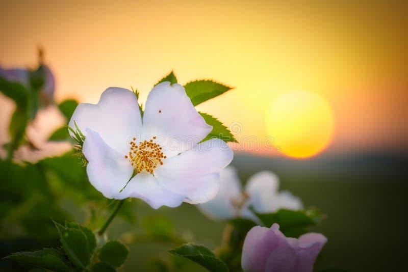 De hond nam bloem in s-zonsonderganglicht bij de lente toe stock fotografie