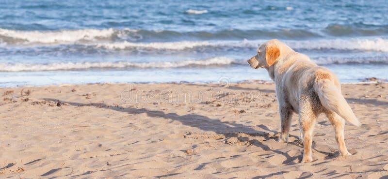 De hond is op een zandig strand overziend tropisch strand, Thailand royalty-vrije stock afbeeldingen