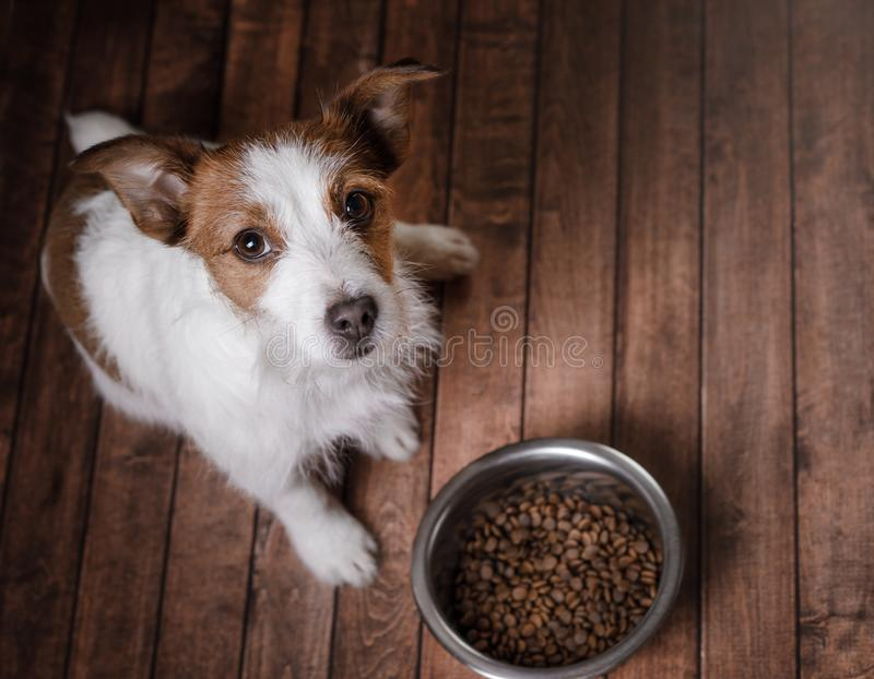 De hond op de vloer Jack Russell Terrier en een kom van voer stock foto