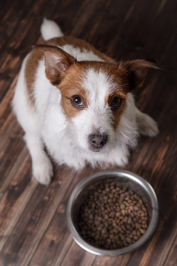De hond op de vloer Jack Russell Terrier en een kom van voer royalty-vrije stock afbeeldingen
