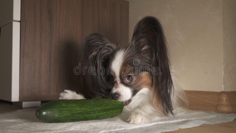De hond Papillon eet verse groene komkommer met eetlust stock afbeelding