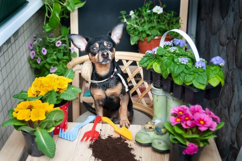 De hond plant bloemen, een huisdier door bloemen en tuinhulpmiddelen wordt omringd, een beeld van een tuinman, het concept van bl stock foto's