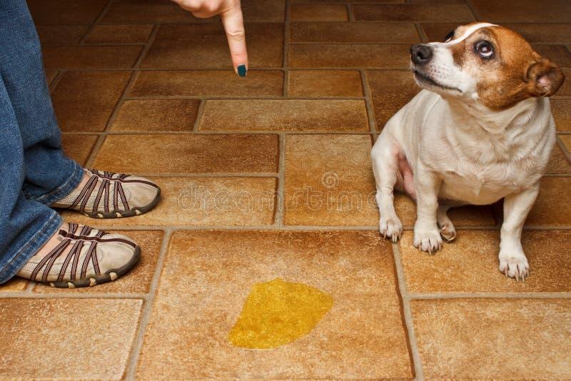 De hond plast berispt royalty-vrije stock afbeeldingen