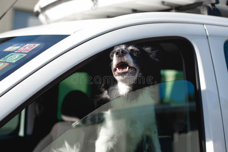 De hond port snuit uit het autoraam Zwart-wit Border collie in auto in de hete zomer royalty-vrije stock foto's