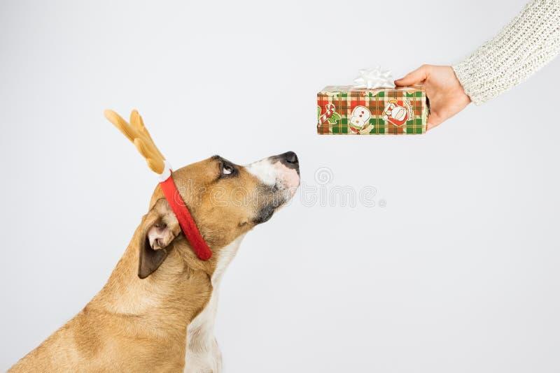 De hond in rendierhoornen krijgt een heden van mens stock afbeelding