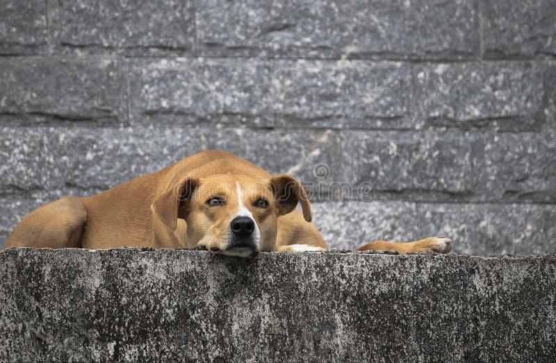 De hond rust en let op het huis royalty-vrije stock foto's