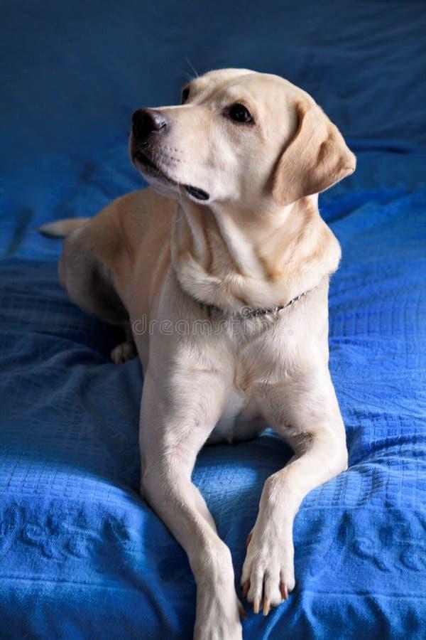 De hond rust thuis Foto van gele labrador retriever-hond die en op bed voor fotospruit stellen rusten Portret van Labrador royalty-vrije stock foto's