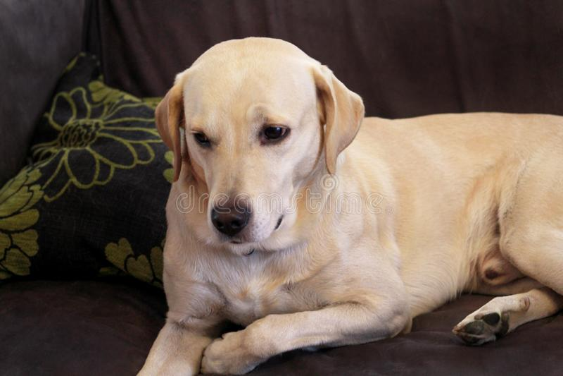 De hond rust thuis Gele labrador retriever-hond die in het bed leggen Een mooie hond geniet van op bed, in de woonkamer stock fotografie