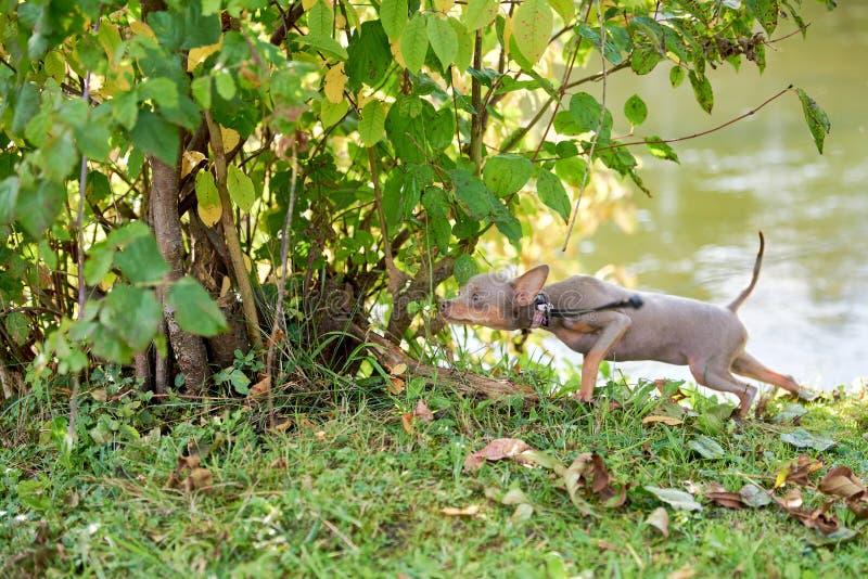 De hond snuift en neemt in de struiken heimelijk Russisch Toy Terrier, Russkiy-Stuk speelgoed royalty-vrije stock foto