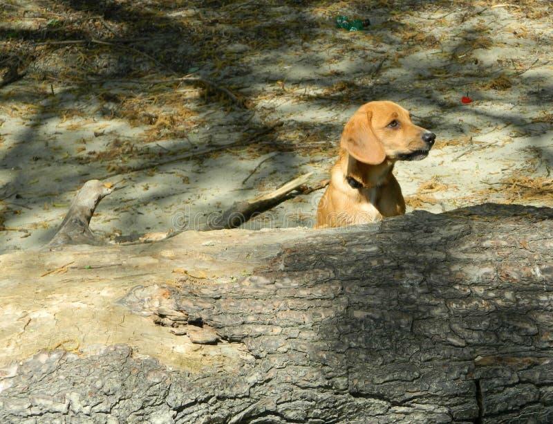 De hond speelt royalty-vrije stock fotografie