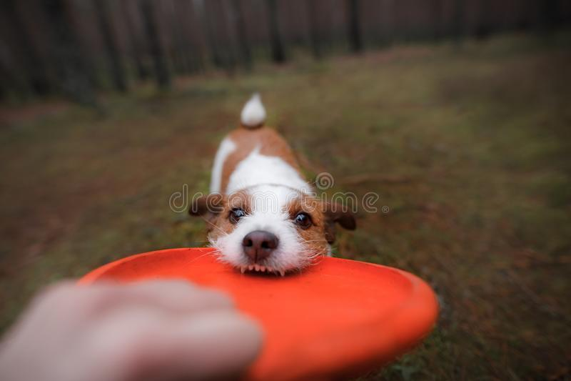 De hond speelt Jack Russell Terrier die een stuk speelgoed bijten royalty-vrije stock fotografie