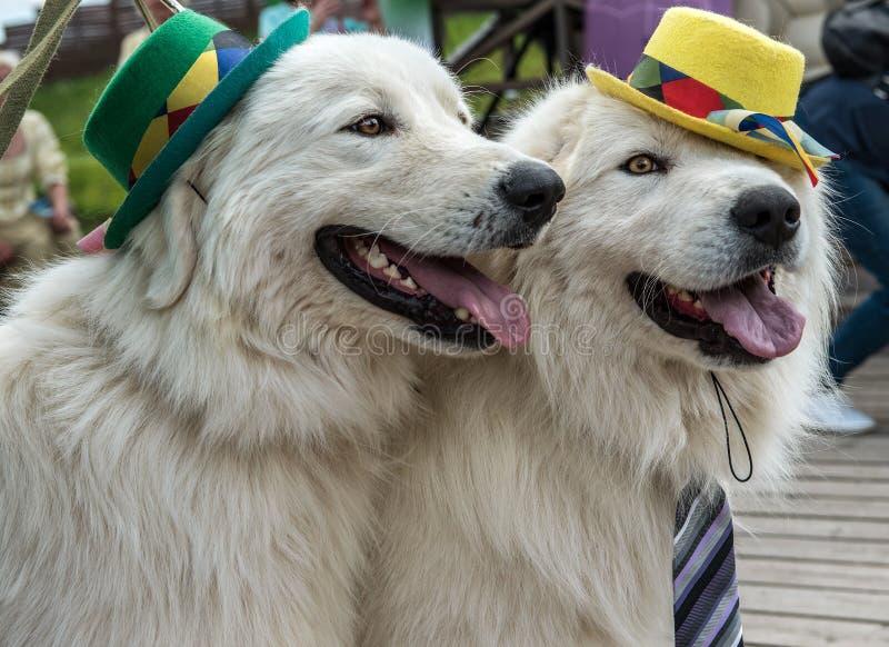 De hond toont in het park dichtbij Moskou stock foto's