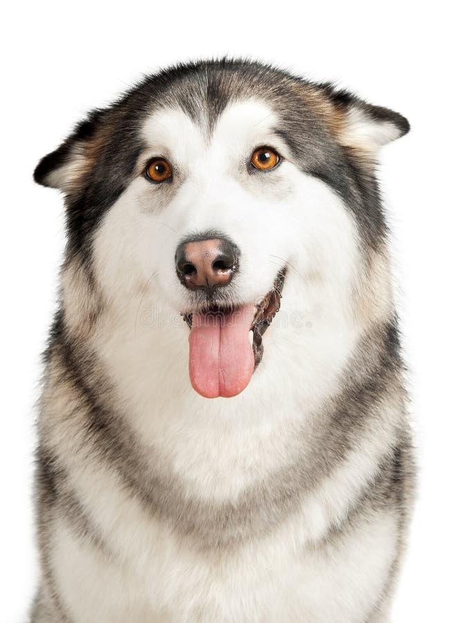 De hond van Alaska Malamute royalty-vrije stock fotografie