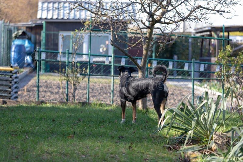 De hond van de Appenzellerberg bevindt zich weg over een groen gebied Leuke vluchtelingshond royalty-vrije stock afbeeldingen