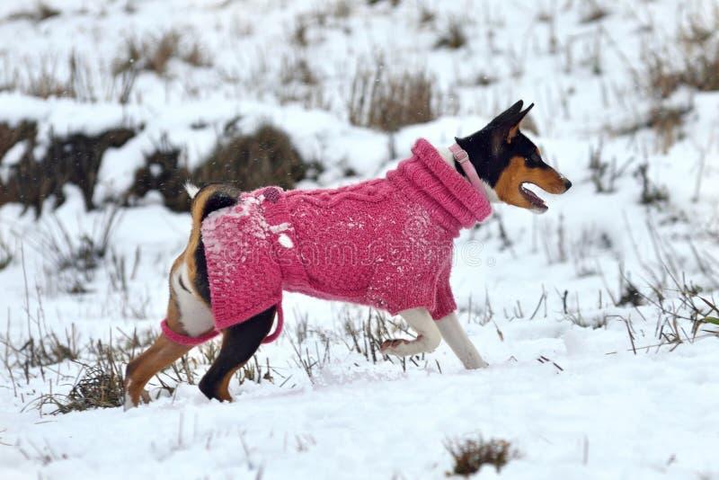 De hond van Basenji stock afbeeldingen