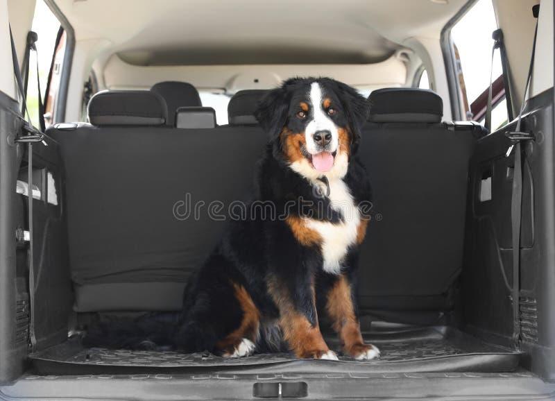 De hond van de Berneseberg in autoboomstam stock fotografie