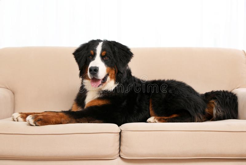 De hond van de Berneseberg op bank royalty-vrije stock fotografie