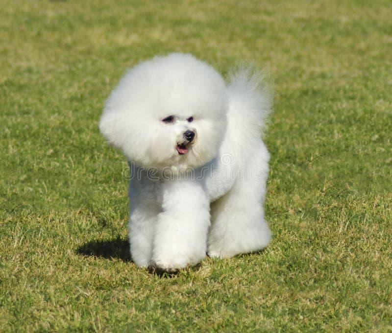 De hond van Bichonfrise royalty-vrije stock foto's