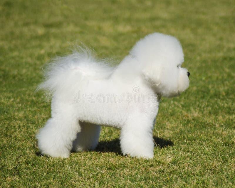 De hond van Bichonfrise stock afbeeldingen