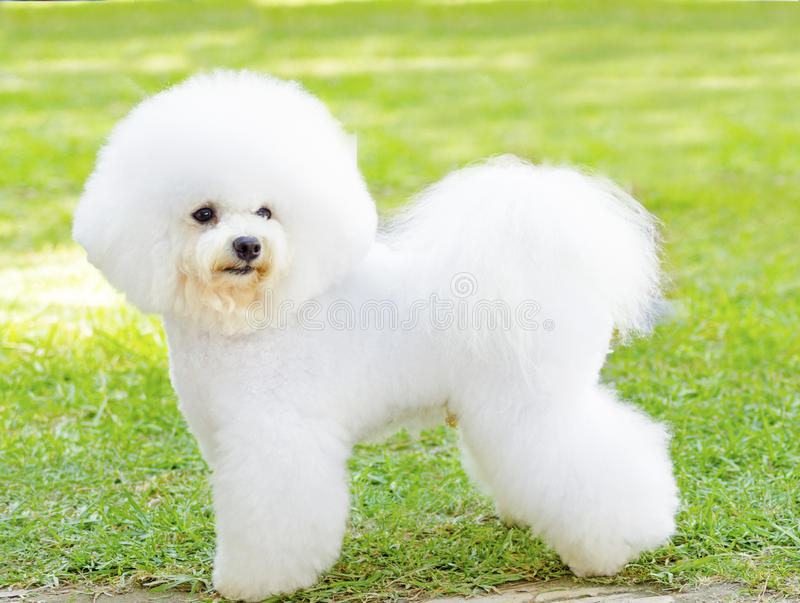 De hond van Bichonfrise stock fotografie